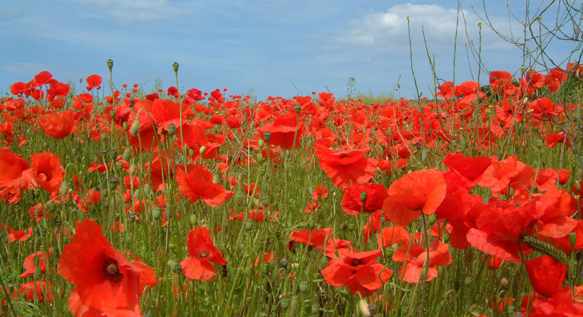 Poppy planting will remember those who died in WW1
