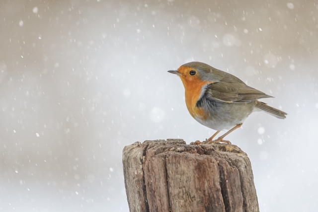 A brief history of the Christmas robin