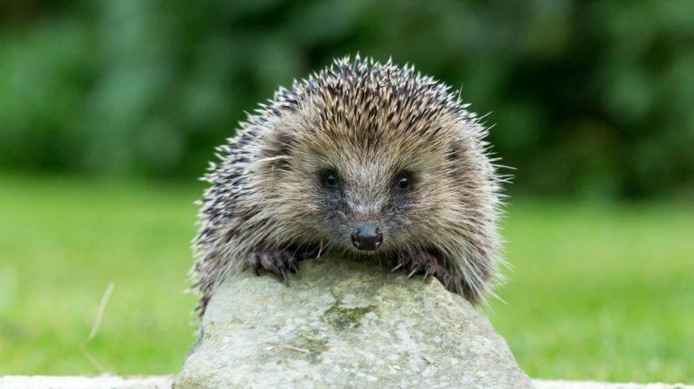 South Kesteven issues hedgehog appeal