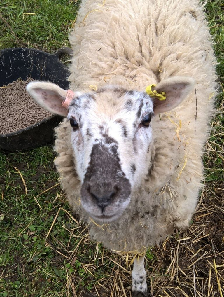 Sheep stolen from field in Leasingham
