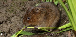 Volunteers needed to help save endangered water vole