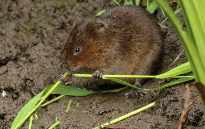 Volunteers needed to help save endangered water vole