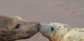 First seal pup born at Donna Nook